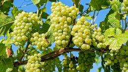 raisin, domaine viticole, vignoble, Bouchard Père et Fils